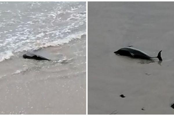 Photos de l'animal marin échoué sur une plage de Crozon
