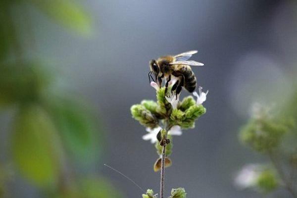 Une abeille peut reconnaître un visage humain