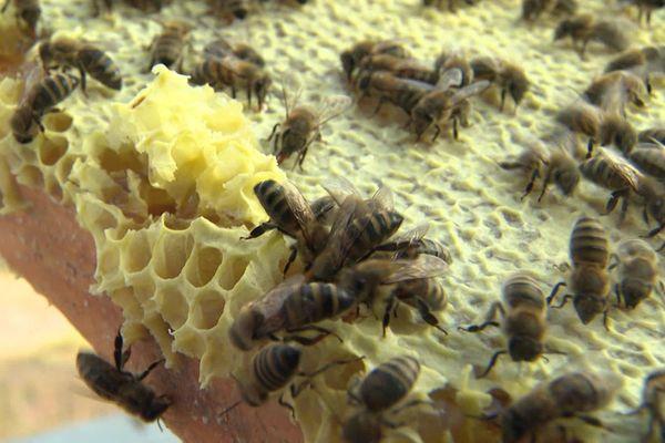 A 1100 mètres d'altitude, près des champs de lavande, les abeilles ont commencé à remplir les opercules.