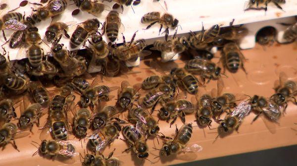 Les abeilles noires, une race patrimoniale typiquement normande