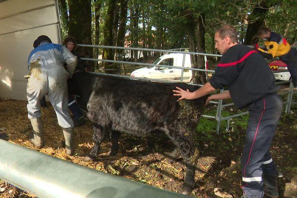 La petite vache noire a été ramenée auprès de ses congénères.