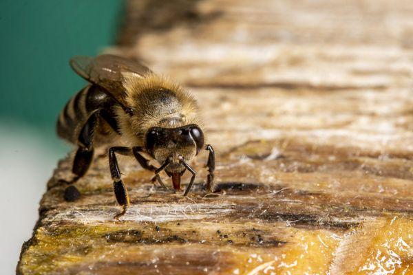 Cette année, les récoltes de miel ne sont pas optimales, la faute à une météo changeante.