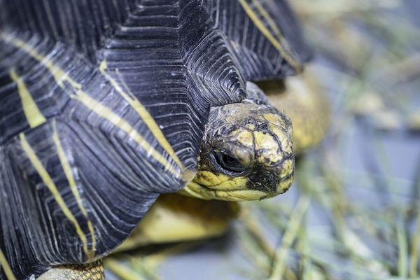 Une tortue radiée, sauvée par la gendarmerie et amenée à Beauval.