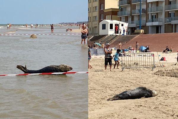 Un phoque décide de se reposer sur la plage de Bray-Dunes, au milieu des plagistes.