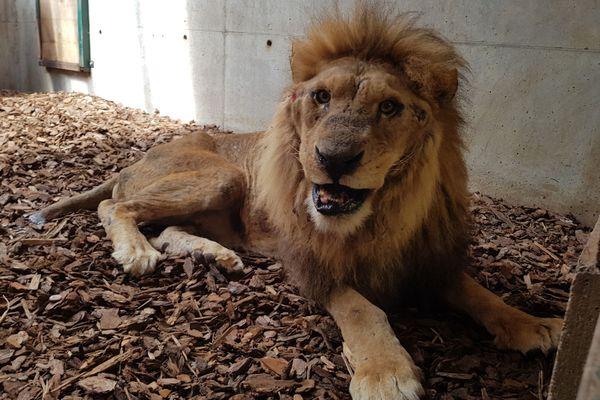 Jon après sa première opération le 18 juin 2020. Le lion maltraité dans un cirque a été saisi en Normandie, puis confié par l'association One Voice à celle de Tonga Terre d'Accueil, basée à Saint-Martin-la-Plaine dans la Loire.
