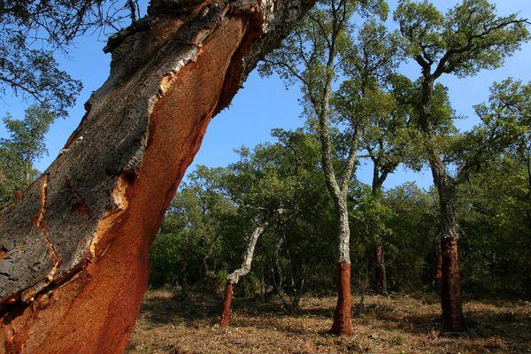 Le chêne-liège se développe dans les milieux siliceux en Provence : les Maures, l'Estérel, la Colle du Rouët, le massif du Tanneron et quelques secteurs près de Toulon.