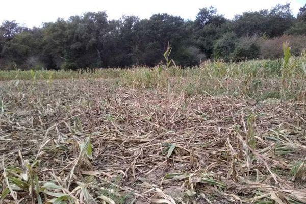 Culture de maïs après le passage des sangliers, GAEC Butet, Epieds (49)