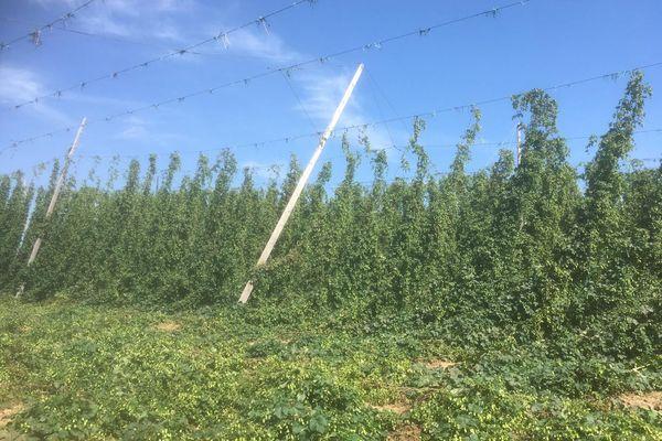 Un orage violent a détruit des parcelles de houblon le week-end du 21 août à Wingersheim-les-quatre-Bans.