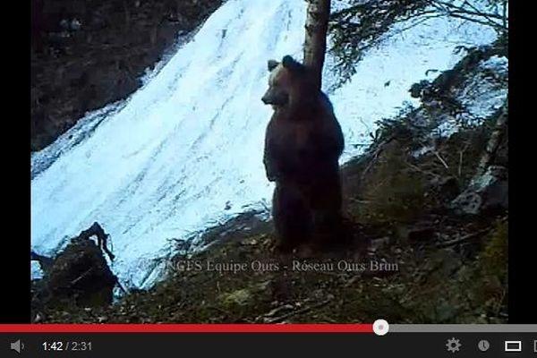 Un des ours filmé par les caméras automatiques