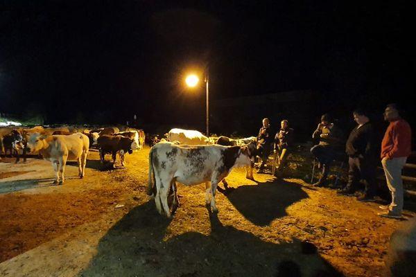 Des bergers de la Roya ont déplacé 250 vaches de Casterino à Vernante, en Italie