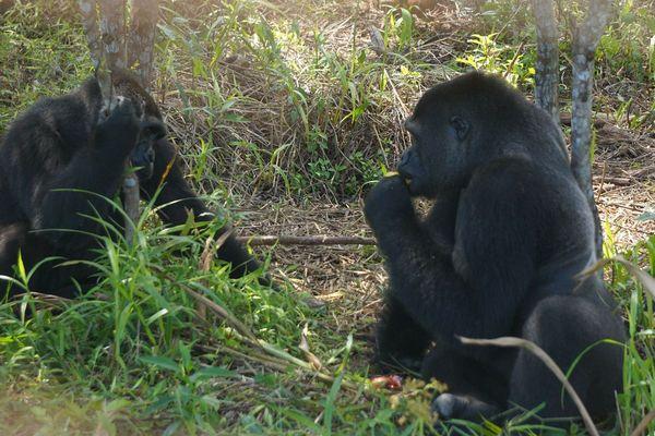 Mayombé, la femelle gorille du Zoo de Beauval réintroduite au Gabon, a rencontré Djongo