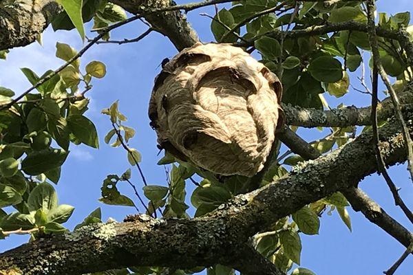 Ce nid, de la grosseur d'un ballon de foot, a environ un mois.