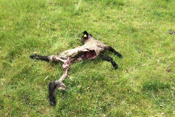 Cinq brebis ont été retrouvées mortes par leur éleveur à Pierrefitte-sur-Loire, dans l'Allier. L'origine de l'attaque n'est pas encore déterminée avec certitude.