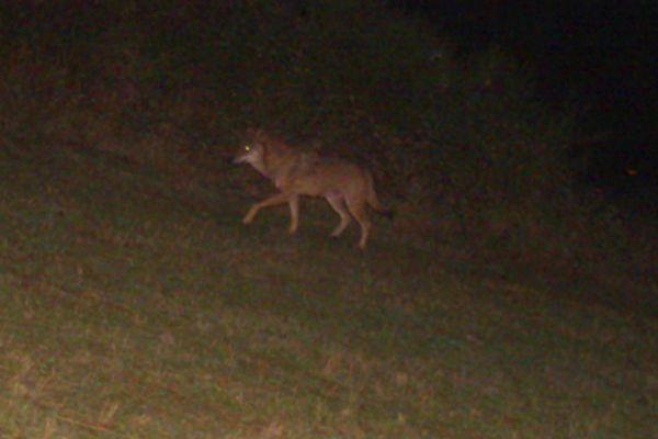 Les spécialistes du suivi de l'espèce de l'Office français de la biodiversité confirment qu'il s'agit bien d'un loup. l'animal a été photographié sur le plateau du Coiron en Ardèche.