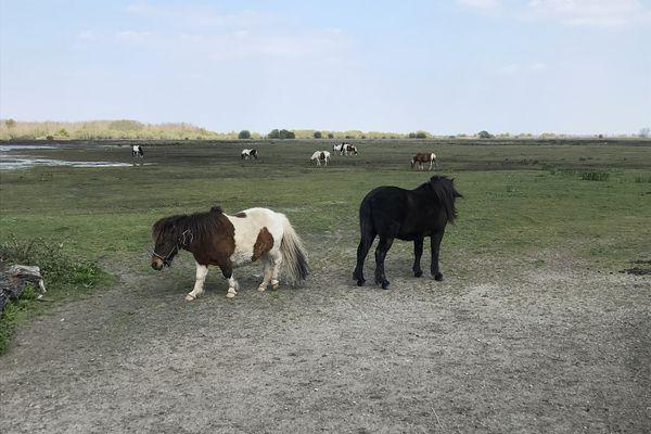Moins farouches que les oiseaux sauvages, les poneys pâturent en attendant de promener à nouveau les touristes.