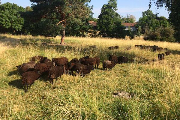 Située dans des pâtures, autour du centre pénitentiaire de Moulins-Yzeure, dans l'Allier, une centaine de moutons d'Ouessant a été récupérée mercredi 4 juillet, par la Fondation Brigitte Bardot.