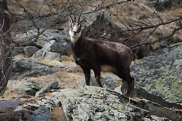 Une agence de voyage de Carpentras organise des safaris chasse aux chamoix dans le Mont-Ventoux.