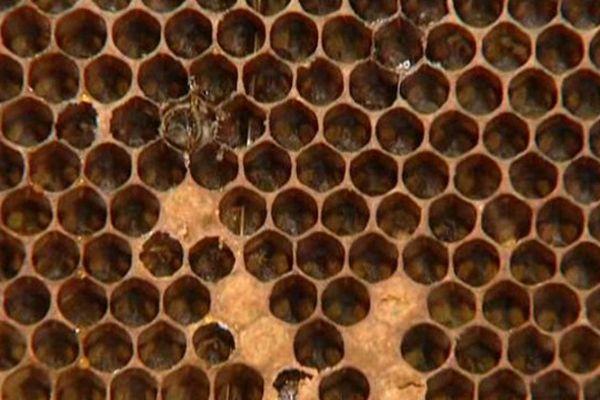 Les ruches sont décimées