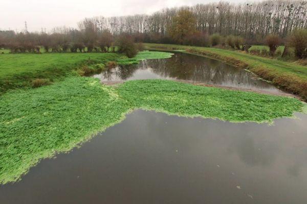 L'hydrocolyte, une algue fortement invasive, empêche la réouverture du trafic fluvial de la rivière Sambre.