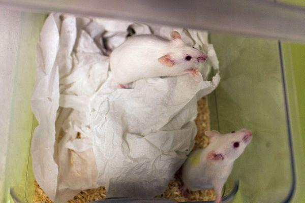 D'après les dernières découvertes, les souris mâles et femelles possèdent les mêmes connections de neurones de l'instinct parental, mais ce sont les hormones qui les activent différemment. ARCHIVES Centre recherches neurosciences de Bron.