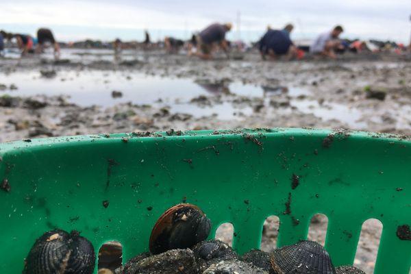 dans le seau du pêcheur à pied : coques et palourdes