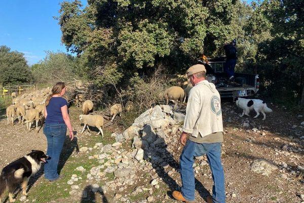 Audrey Clavier, éleveuse  d'agneaux sur le massif de la Gardiole dans l'Hérault, rassemble le troupeau avec l'aide du berger et des chiens.