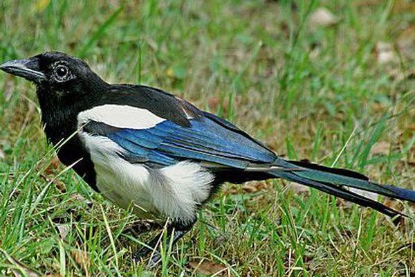 """La pie bavarde """"Pica pica"""", noire et blanche avec des reflets bleus sur les ailes,  est très reconnaissable tant par sa grande taille que ces """"jacassements""""."""