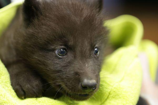 Ce louveteau mâle, âgé d'un mois, est le seul né cette année au parc Alpha de Saint-Martin-Vésubie.