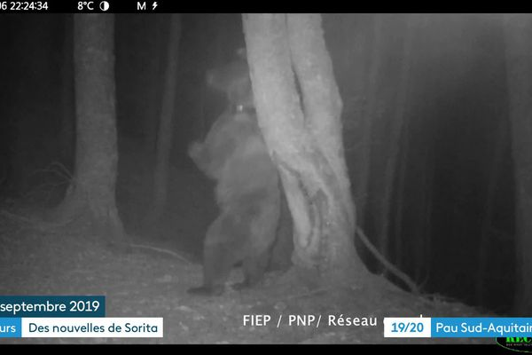 Sorita se frotte le dos contre un arbre pour marquer son passage, le 6 septembre dernier en vallée d'Aspe.