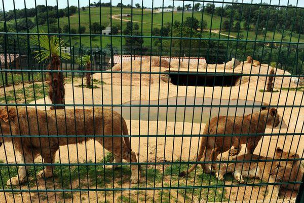 Lions au zoo des 3 vallées à Montredon-Labéssonnié, en 2013.
