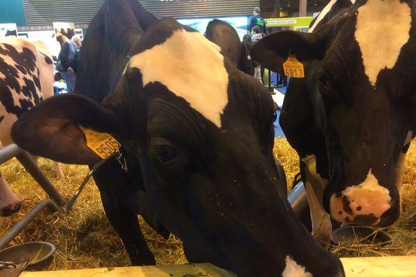 Les vaches restent les stars du salon, ici des représentantes de la race Prim'Holstein