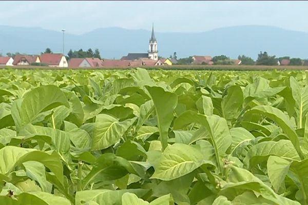 La récolte du tabac s'annonce bonne en 2017