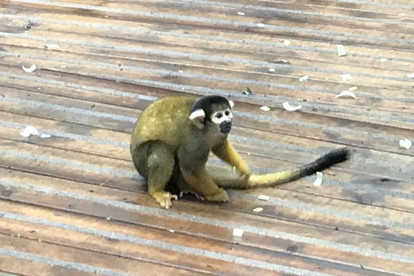 Un petit singe jaune  : le saïmiri