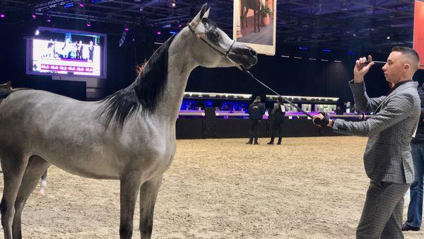 Les plus belles pouliches du concours des chevaux arabes au Salon du cheval à Paris