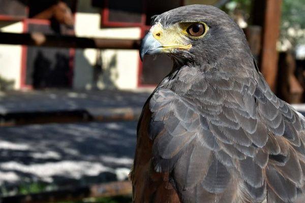 Un des rapaces du fauconnier Ioann Latscha