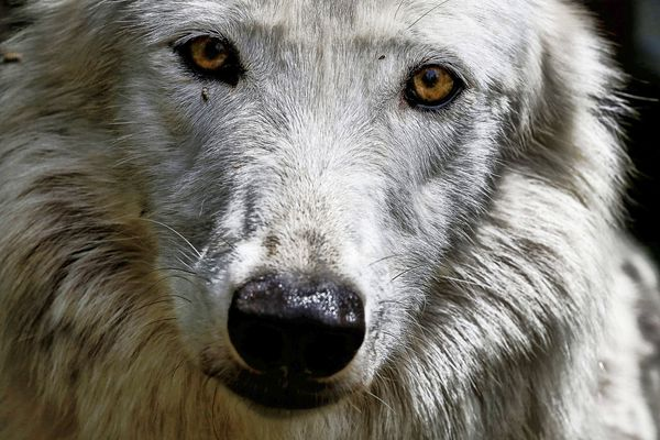 La présence du loup est avérée depuis 20 ans en Occitanie.