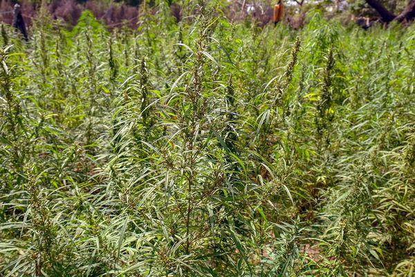 Les plantations étaient cachées dans les bois (image d'illustration)