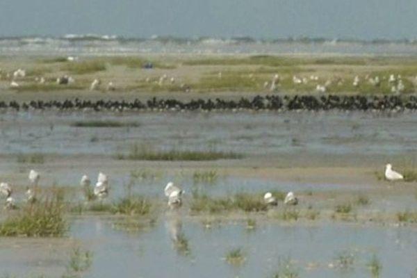 Observation des oiseaux de la Baie de Somme en période de grandes marées