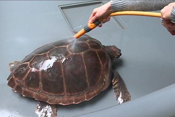 Une tortue sauvée et soignée au centre d'étude de sauvegarde des tortues marines au Grau du Roi