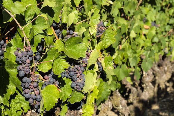 Les vins du Val de Loire s'étendent du Nantais à la Touraine, en passant par l'Anjou-Saumur.