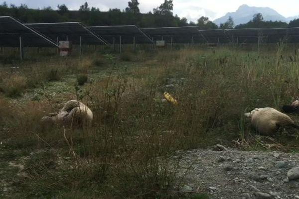 Des dizaines de brebis retrouvées mortes, égorgées, à Susville