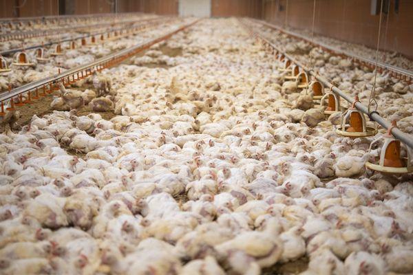 Premier bâtiment de l'élevage de poulets à Pihem.