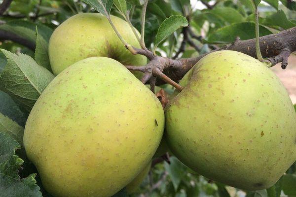 La famille Teulet produit de la pomme Golden bio sur 350 hectares