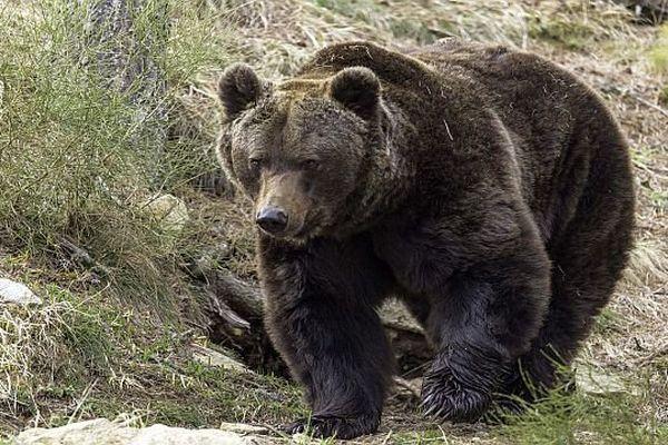 Selon un sondage IFOP,  59% des Français sont favorables au principe de remplacement des ours tués par l'homme dans les Pyrénées