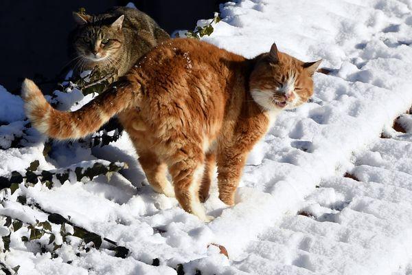"""Deux chats dans le froid sur un toit enneigé : à Nancy (54), le 17 janvier 2017 : """"Ce n'était pas un temps à mettre un chat dehors""""."""