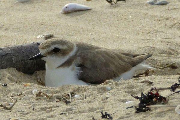 Depuis mi-mars, la plupart des espèces se sont installées à la fois sur leurs zones habituelles mais aussi sur ces nouveaux territoires disponibles, et ont construit leur nid souvent à même le sol.
