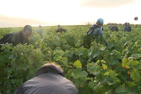 C'est devenue une tradition. Depuis la fin de la seconde guerre mondiale, des vendangeurs du Nord et du Pas-de-Calais viennent participer à la récolte en Champagne.