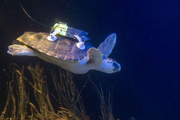 La tortue Caouanne relâchée au large de Monaco avec sa balise.