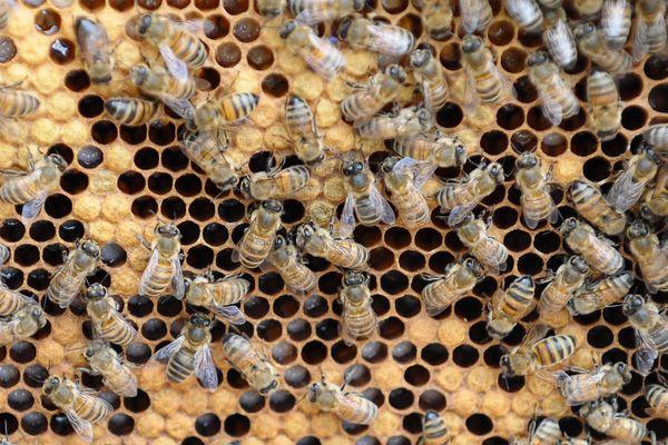 L'observatoire de la mortalité et de l'affaiblissement des abeilles livre son premier bilan