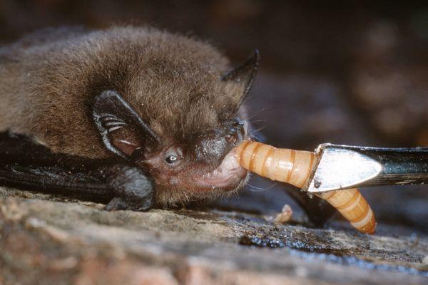 Les pipistrelles communes peuvent dévorer 3 000 insectes par nuit.